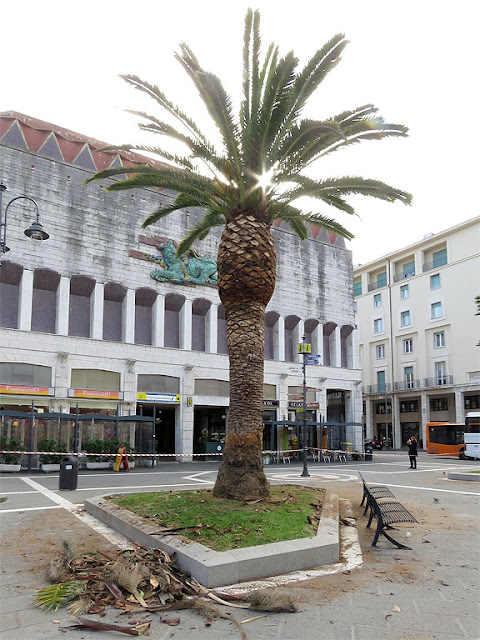 Pruning palm trees, Piazza del Municipio, Livorno