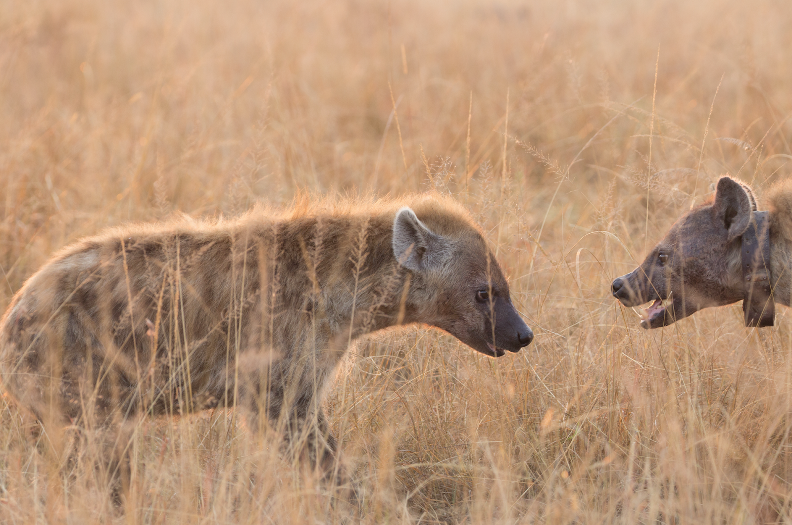 Notes From Kenya Msu Hyena Research Self-Control Matters -9597