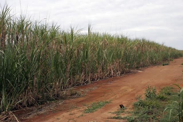 Plantação de cana-de-açúcar e uma estrada de terra ao lado