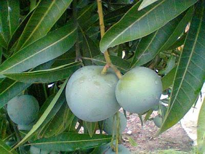 Cara Ampuh Mencegah Kerontokan Buah Mangga Apel