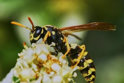 Wespen Vertreiben wespen vertreiben aber wie