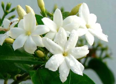 Mengenal Jenis Tanaman Bunga Melati