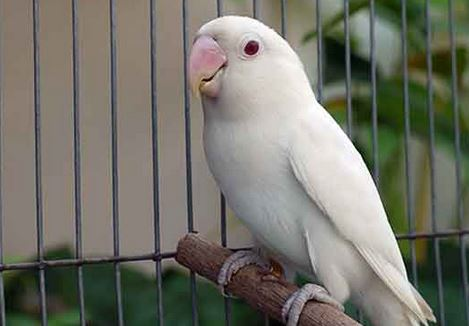 Jenis Lovebird Pastel Putih