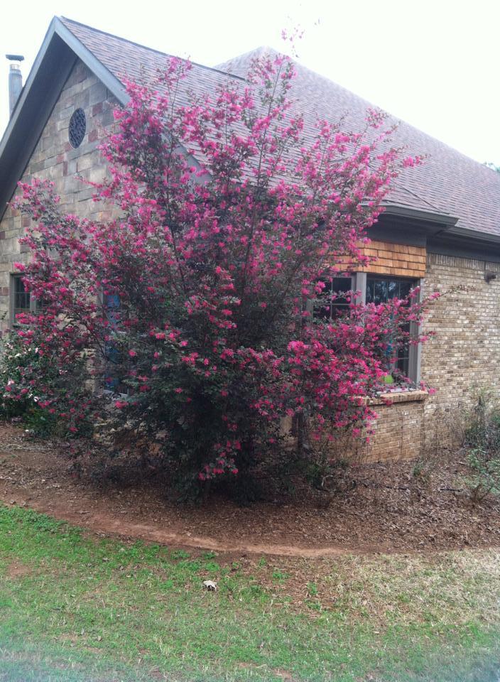 January Blooms In My Georgia Garden Loropetalum