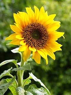 Gambar Bunga Matahari Paling Indah 20003_Sunflower