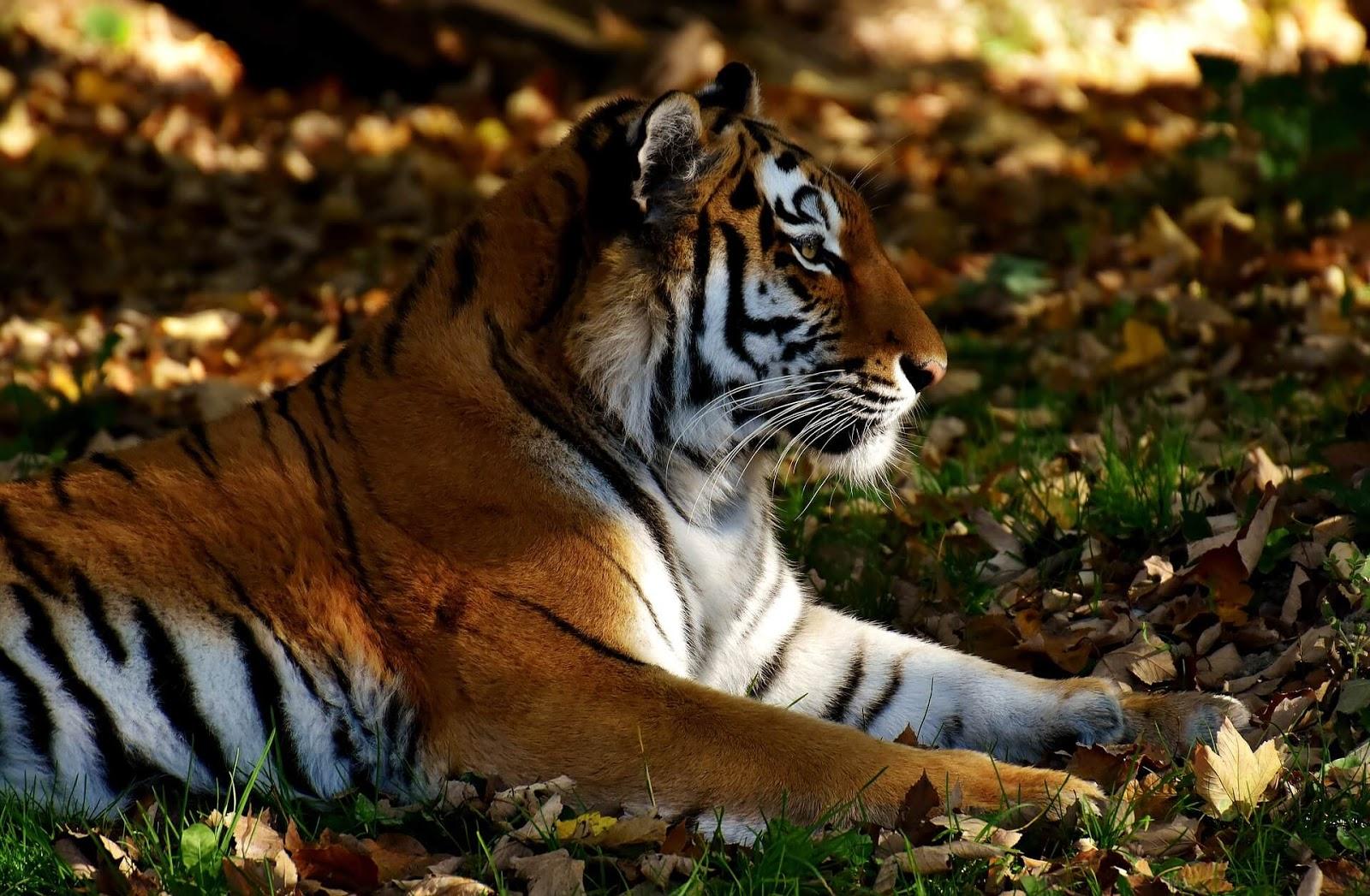 tiger colour in picture