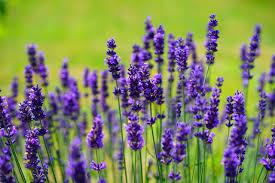 astım hastalığına bitkisel çözüm