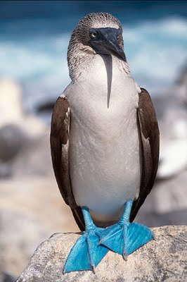Binatang Berwarna Unik ( Blue-Footed Booby )