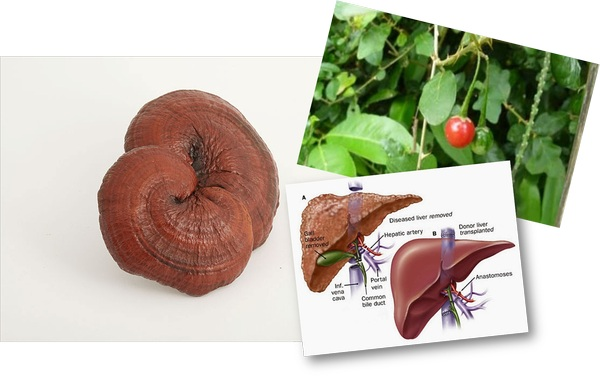người bệnh gan có nên dùng nấm linh chi không