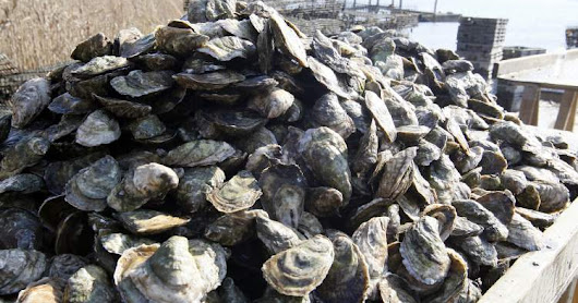 Why every coastal town should encourage oyster placement in its waters!