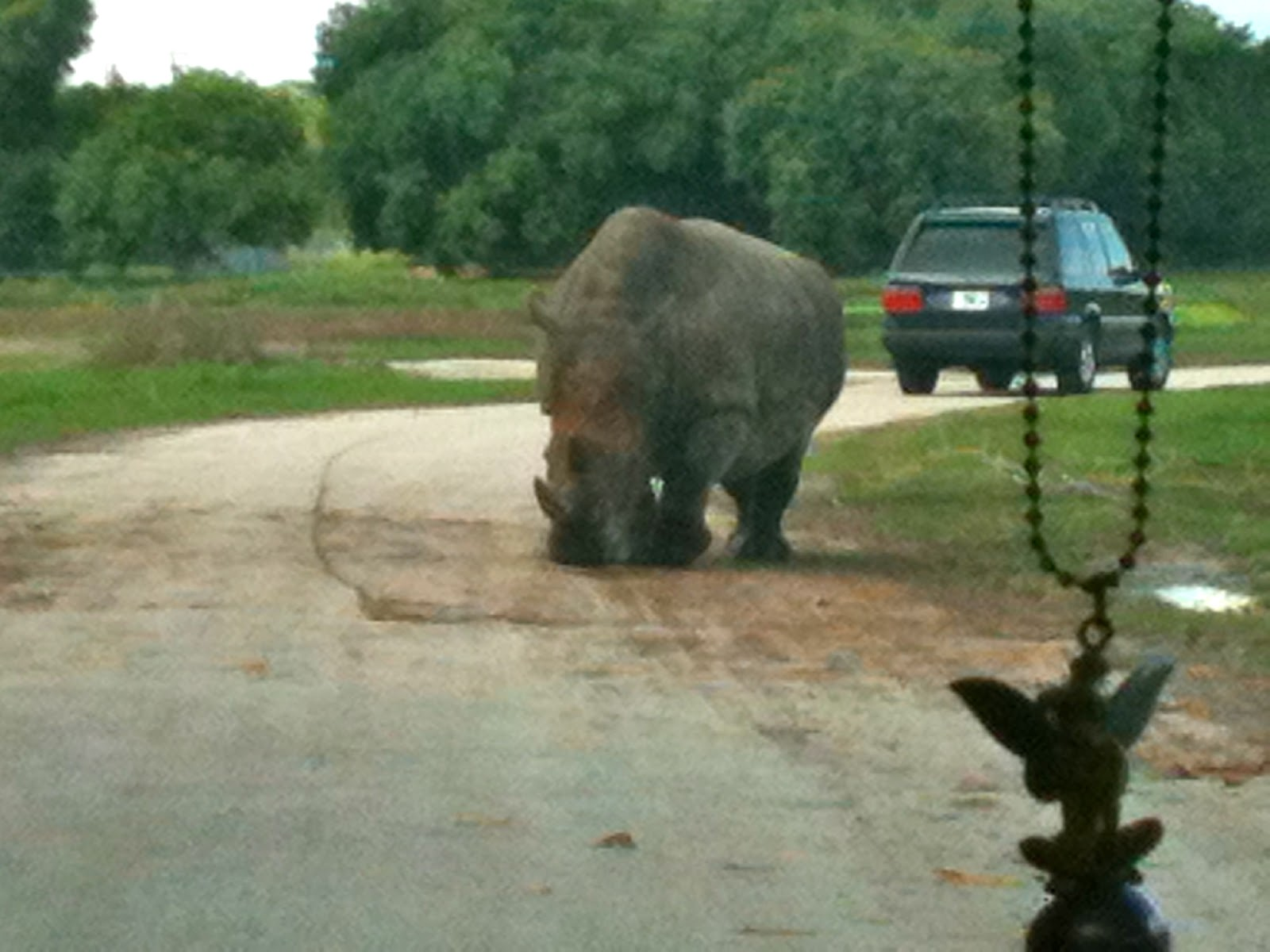 Rhino in the Road at Lion Country Safari, Loxahatchee, FL - ouroutdoortravels.blogspot.com