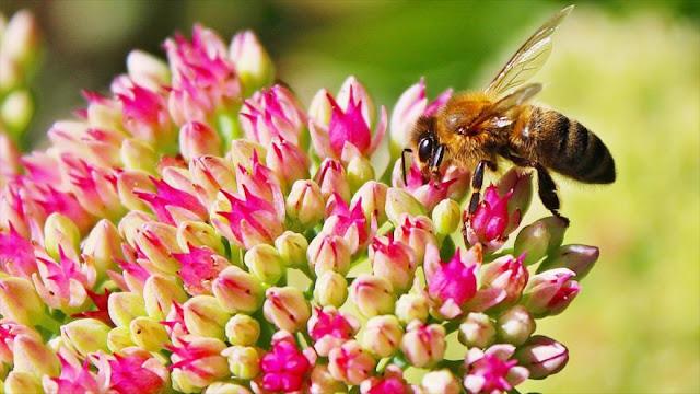 Científicos alertan de hambruna mundial por ¡extinción de abejas!