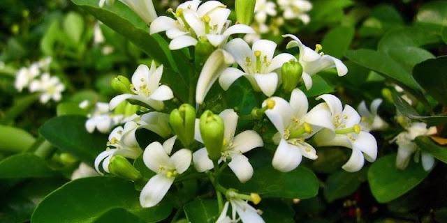mitos bunga dan pohon kemuning jawa