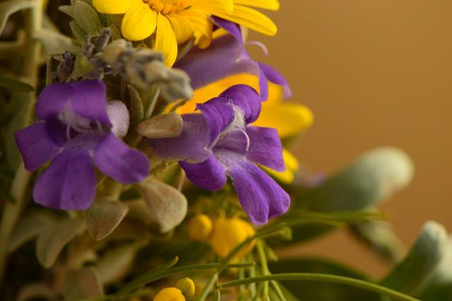 eremophila hygrophana,  desert garden, small sunny garden, amy myers, photography, monday vase