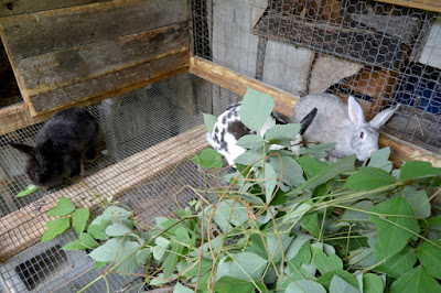 Lucy, Gifty, and Snowflake feast on kudzu, a local delicacy, at mini-farm of Wallace and Nancy Braud