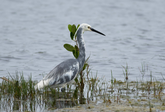 Little Blue Heron - Merritt Island, Florida