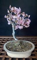 http://evoluzionebonsai.blogspot.it/2013/03/bonsai-di-ciliegio-da-fiore.html