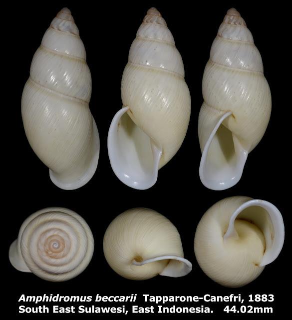 Amphidromus beccarii 44.02mm