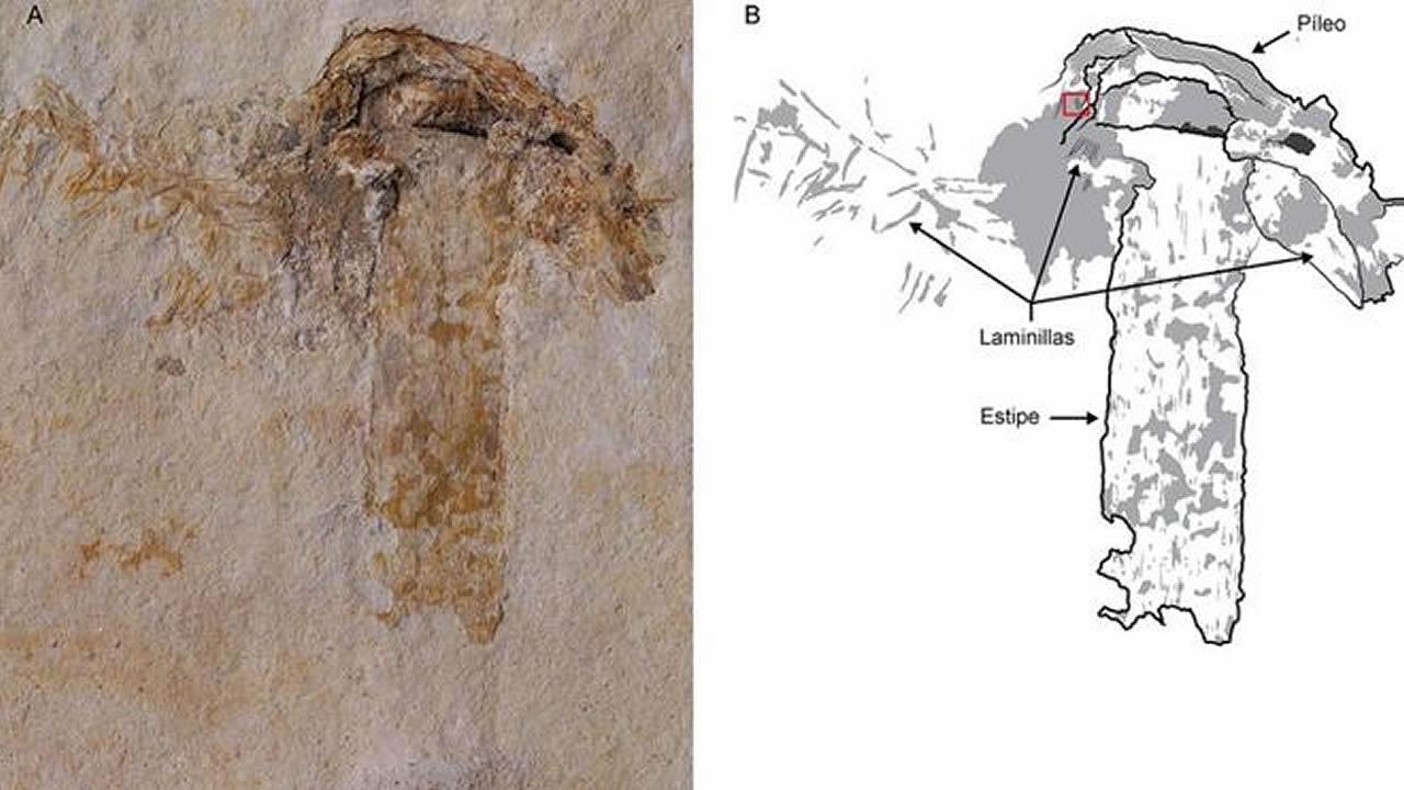 Descubren en Brasil el fósil de un hongo de más de 115 millones de años