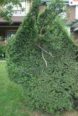 Unusual concave hedge by garden muses-not another Toronto gardening blog