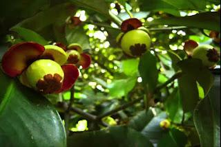 Kisah Pohon Manggis dan sosok bocah