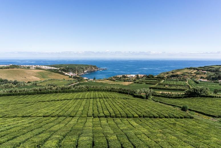 Plantacja herbaty Porto Formoso