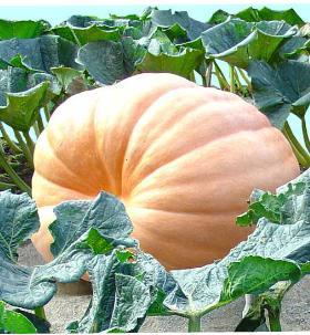 http://www.starfall.com/n/fiction-nonfiction/pumpkin/load.htm?f