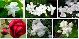 Khasiat bunga mawar dan bunga melati untuk ibu menyusui