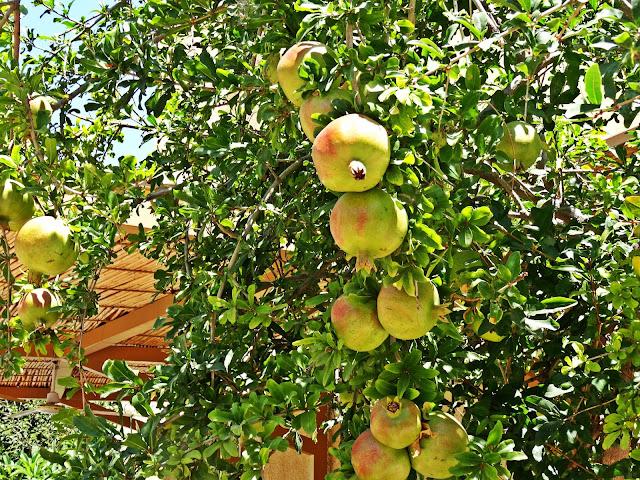 owoce granatu na Krecie gdzie rosną?