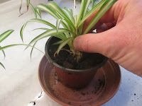 Potting a baby spider plant