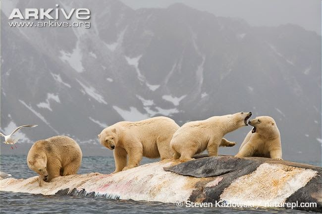 Fin Whale and polar bears
