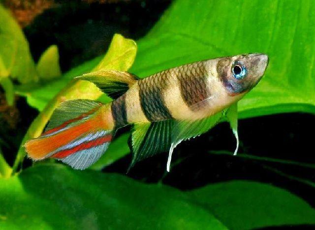 Ikan Pemakan jentik Nyamuk
