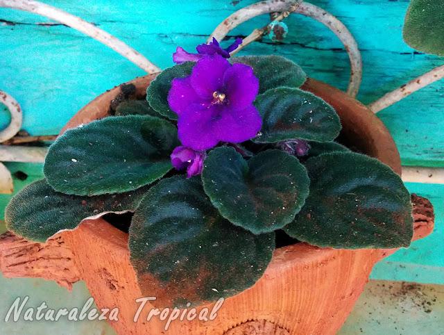 Violeta Africana en maceta, género Saintpaulia