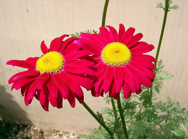 Two red pyrethrum flowers in a sunny border