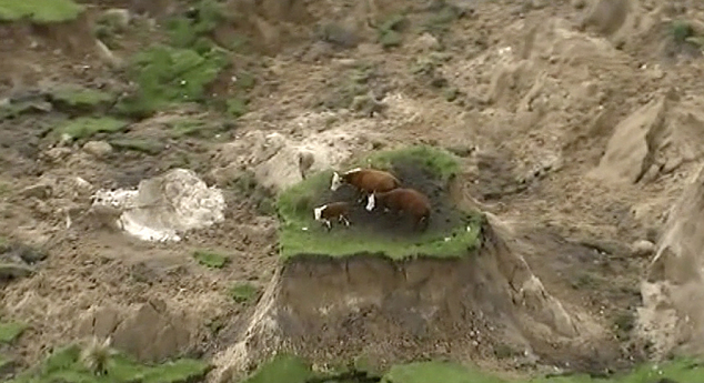 http://www.dailymail.co.uk/wires/ap/article-3933582/Nowhere-mooove-3-cows-stranded-New-Zealand-earthquake.html