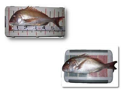 加太 60cmオーバー 天然真鯛 関西の船釣りで釣れる 竿とリール
