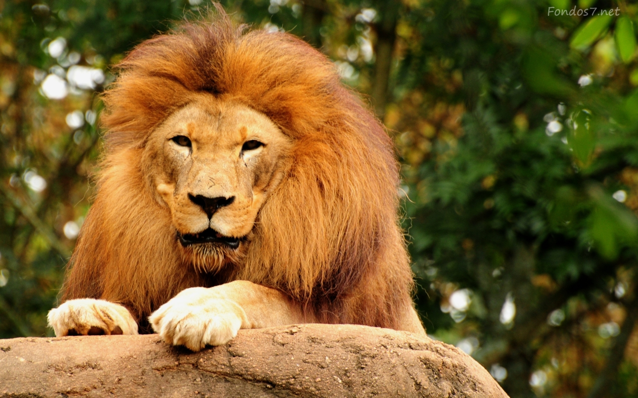Animal Wallpaper Collection: African Lion