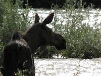 Een eland naast de Alaska highway.