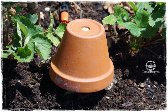 Gartenblog Foodblog Topfgartenwelt Dickmaulrüssler bekämpfen: Dickmaulrüssler Falle selber bauen basteln