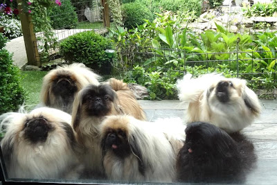 two Pekingese back home