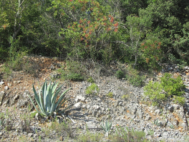 Agave sull'isola di Krk