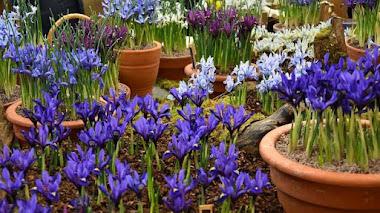 Feria de Plantas en Londres: RHS London Early Spring Plant Fair
