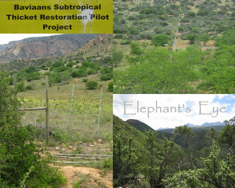 Baviaans Subtropical Thicket Restoration Project The First World's Carbon Credits in action To the left of the solar-powered electric fence, enclosed against browsing herbivores