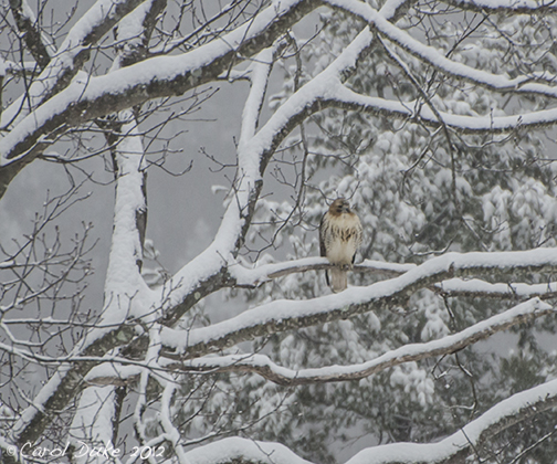 Red-tailed Hawk Within A Wintry Landscape