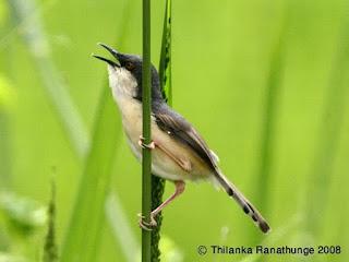 Burung Ciblek - Jenis Burung Ciblek Prinia Hodgsonii - Penangkaran Burung Ciblek