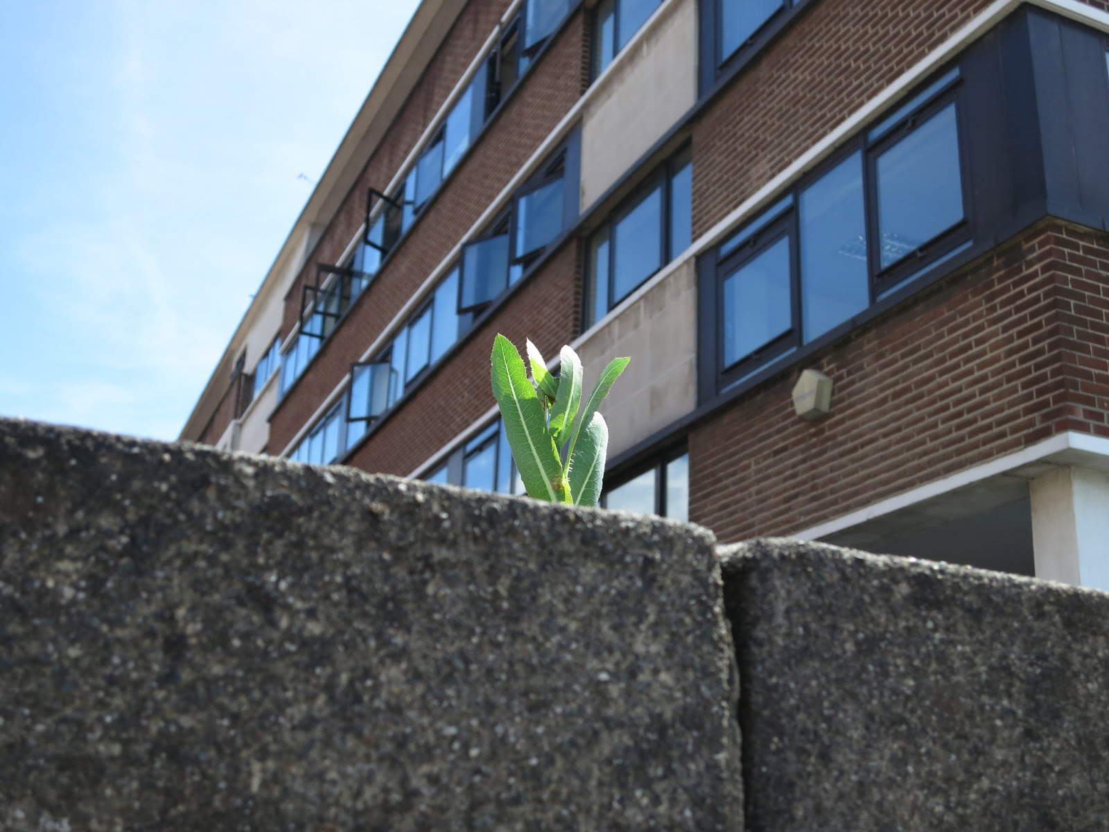 Smooth sow-thistle poking above high wall in front of office building with open windows