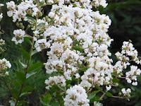 大阪城公園 サルスベリ 白い花