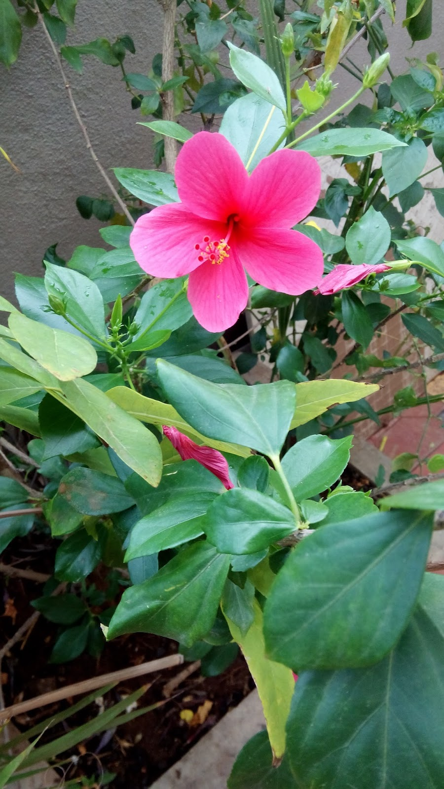 Garden care simplified hibiscus practical plant care in winter and hibiscus practical plant care in winter and my dream flowers paintings who knows i might get it orange plants from seeds parrot flower and sontakka plants izmirmasajfo Image collections