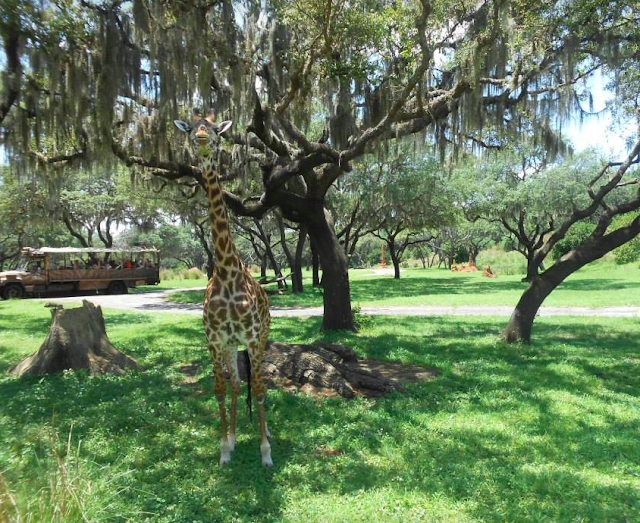 Disney Animal Kingdom, Giraffe