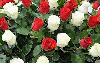 rosas rojas rosas blancas